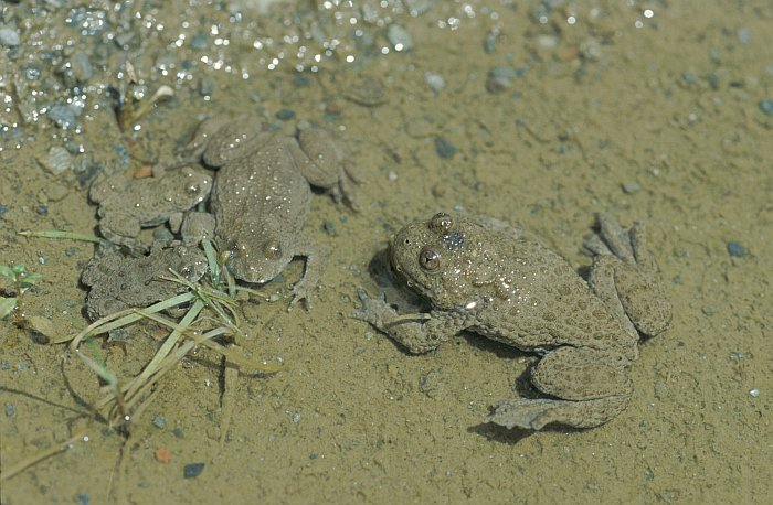 deutsch amphibienarten gelbbauchunke